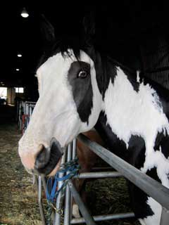 Horse named Chinook.  He's a black-and-white Paint, a gelding, owned by Rusty Black of Pendleton, Oregon.